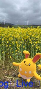 マリルリ 菜の花畑 横浜町